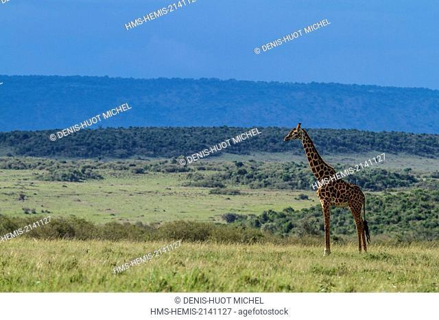 Kenya, Masai Mara Game Reserve, Girafe masai (Giraffa camelopardalis)