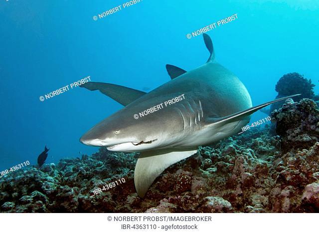 Sicklefin lemon shark (Negaprion acutidens) swimming over coral reef, fishhook in mouth, Great Barrier Reef, Queensland, Cairns, Pacific Ocean, Australia