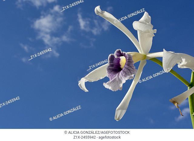 Orchid Laelia Purpurata, Caracas, Venezuela