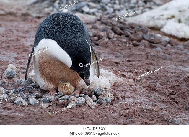 Adelie Penguin (Pygoscelis adeliae) incubating egg on rock nest, Antarctica