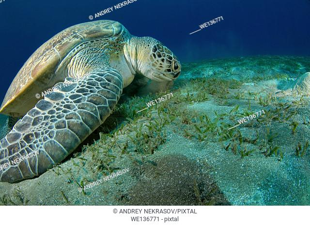 green sea turtle (Chelonia mydas) eating sea grass on the sandy bottom, Red sea, Marsa Alam, Abu Dabab, Egypt