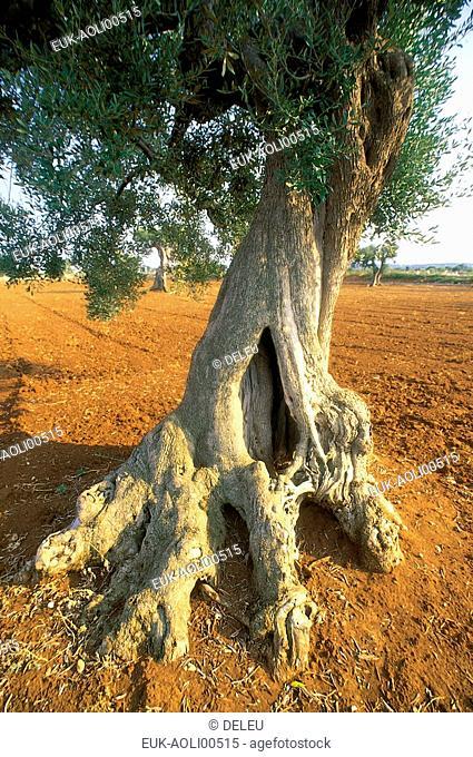 Olive tree,Italyn