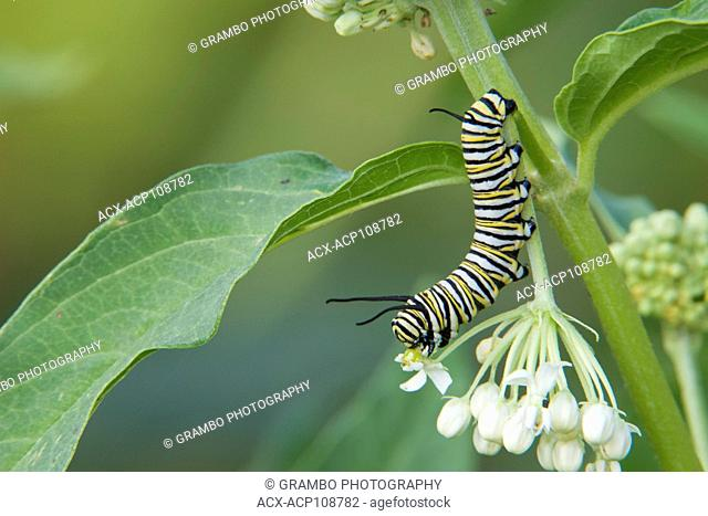 Monarch Butterfly caterpillar, Danaus plexippus, on milkweed, Asclepias sp., Warman, Saskatchewan, Canada