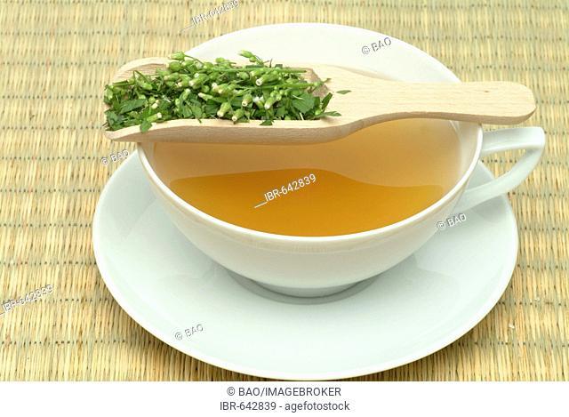 Canadian Horseweed (Conyza canadensis) tea, medicinal tea
