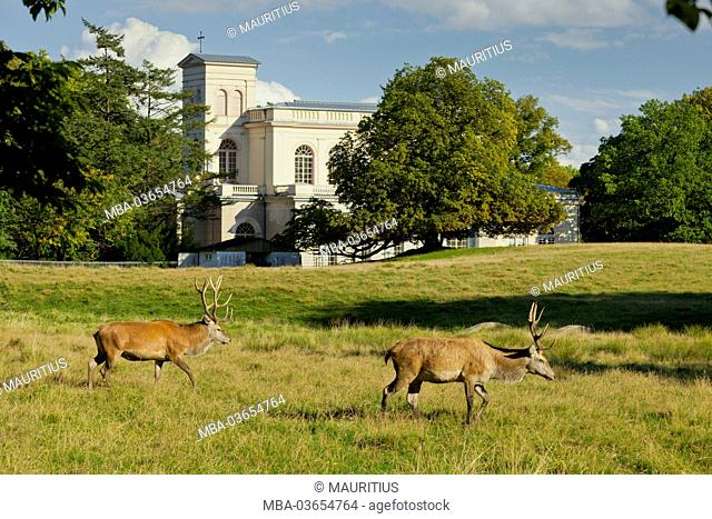 Red deer, Putbus Palace Church, island of Rügen, Mecklenburg-Western Pomerania, Germany