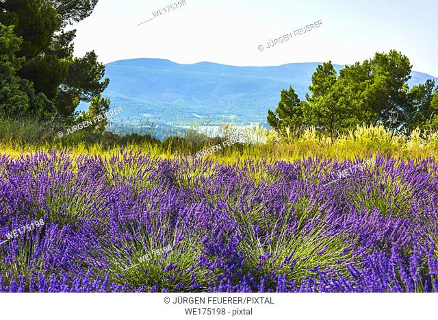 lavender fields with a view to lake of Sainte-Croix, Provence, France, landscape between Sainte-Croix-du-Verdon and Moustiers-Sainte-Marie