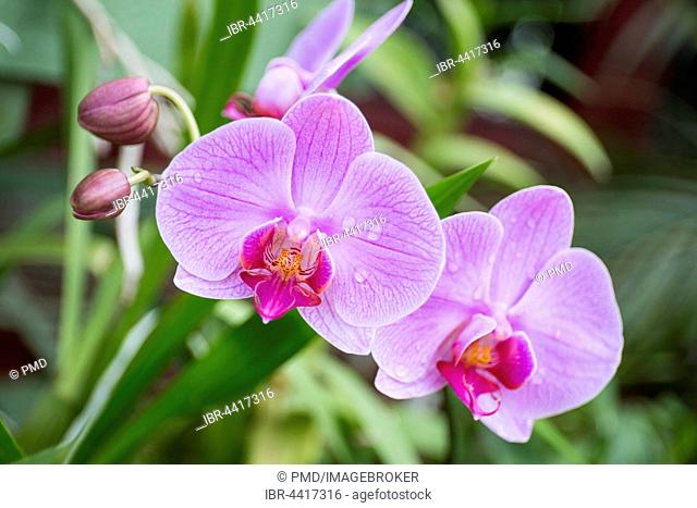 Blooming orchid in botanical garden, (Orchidaceae), Kandy, Orchid, Sri Lanka, Asia