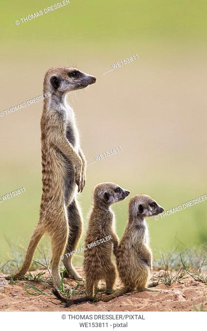 Suricate (Suricata suricatta). Also called Meerkat. Adult with two young on the lookout. During the rainy season in green surroundings