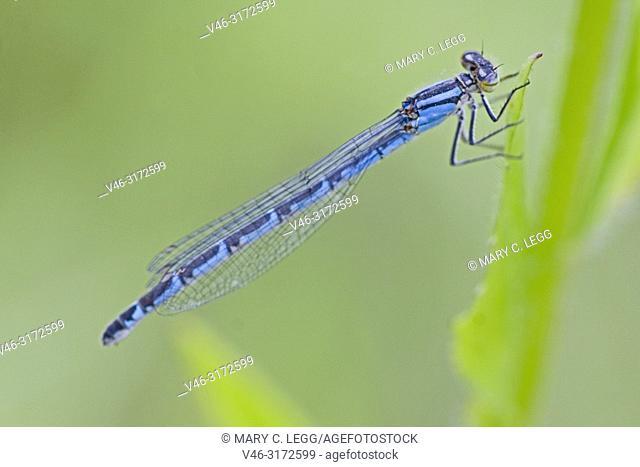 Female Common Bluet, Enallagma cyathigerum, Common Bluetail