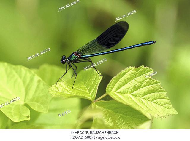 Banded Blackwing Calopteryx splendens Agrion splendens