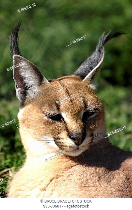 A Caracal in Hluhluwe Game Reserve. KwaZulu Natal, South Africa