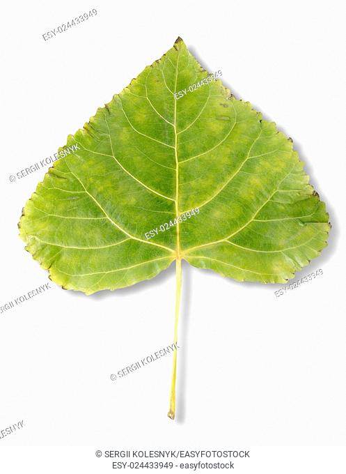 Poplar leaf isolated on a white background. Clipping Path