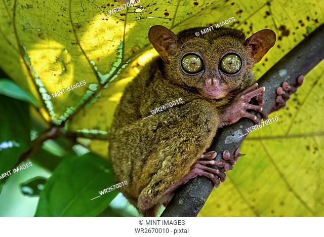 A small nocturnal animal, the tarsier, with fixed round eyes, on a tree branch