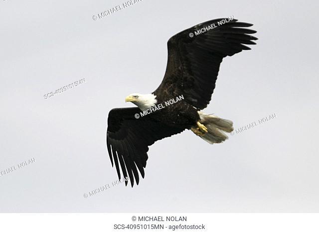 An adult American Bald Eagle Haliaeetus leucocephalus in flight over Chatham strait, Southeast Alaska, USA Pacific Ocean