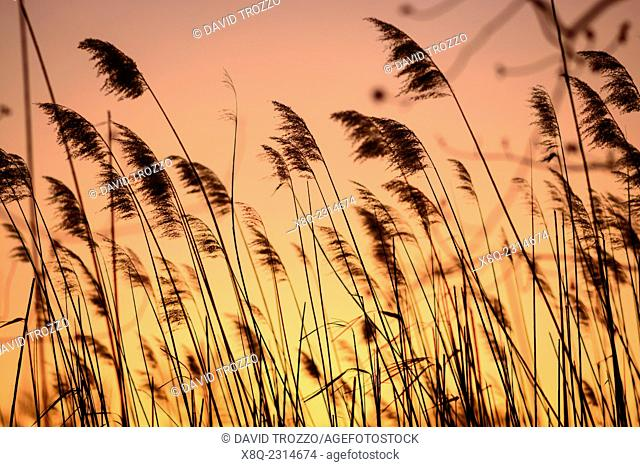 Sunset scene through phragmites common reeds, Phragmites australis, on the scenic Chesapeake Bay near Annapolis, Maryland, USA