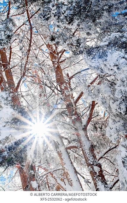 Snowy Pines, Scots Pine, Pinus sylvestris, Guadarrama National Park, Madrid, Spain, Europe