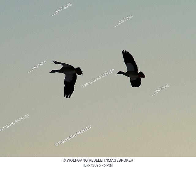 Two wild geese searching for a roost