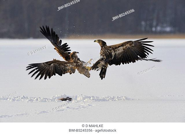 white-tailed sea eagle Haliaeetus albicilla, young sea eagle battling for a carp, Germany, Brandenburg, Biosphaerenreservat Schorfheide-Chorin