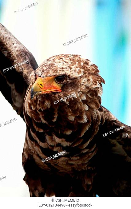 Young bateleur eagle