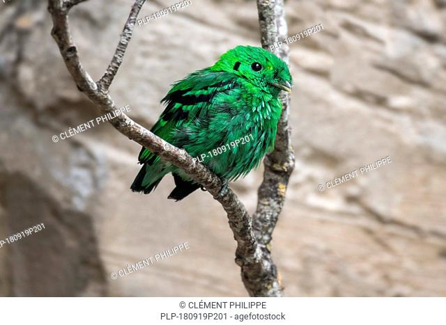 Lesser green broadbill (Calyptomena viridis) perched in tree, native to Borneo, Sumatra, and the Malay Peninsula