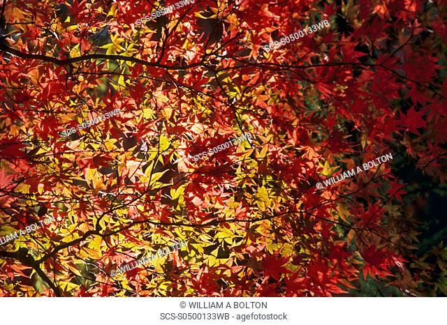 Maple leaves Acer sp in autumn, UK