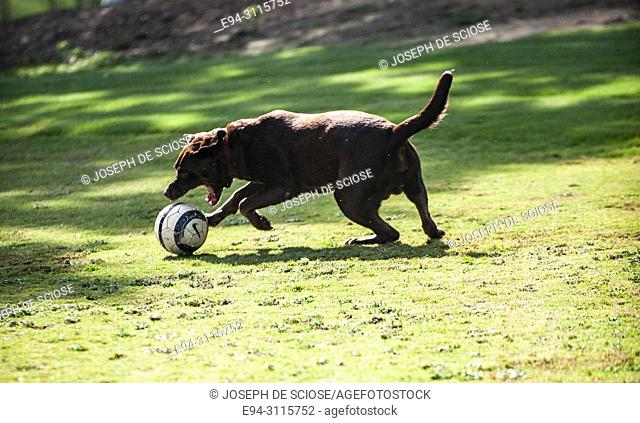 A Labrador Retriever running playing with a ball in on grass