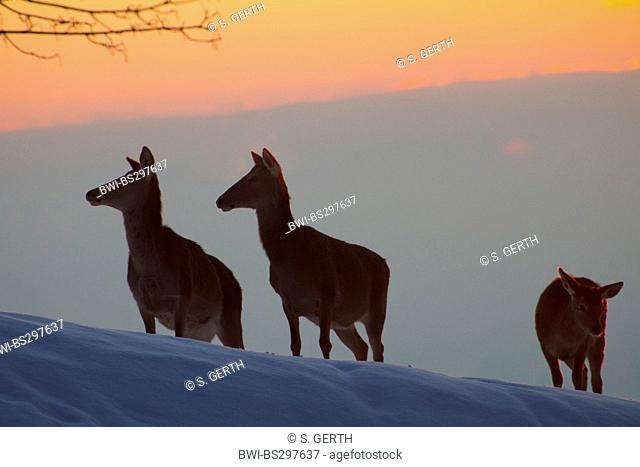 red deer (Cervus elaphus), silhouette of a group of hinds on a snow-covered slope at sunset, Austria, Vorarlberg