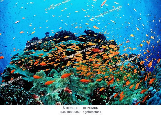 Harem Flag Basslet, Pseudanthias squamipinnis, Egypt, North Africa, Red Sea, St. John's Reef, St. Johns, Reef, Reefs