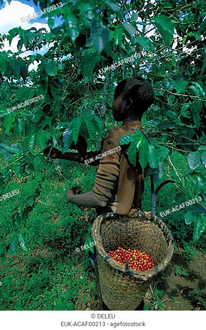 Harvesting coffee in Central Afr