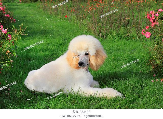 Poodle (Canis lupus f. familiaris), six month old male dog lying in a meadow, Germany