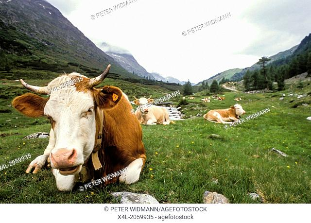 cows on pasture, Austria