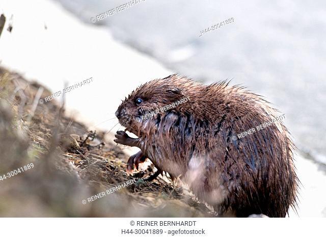 Musk, musquash, musquashes, rodent, rodents, Ondatra zibethicus, fur animal, herbivore, rats, water rat, water animals, wild animal, Wühlmaus