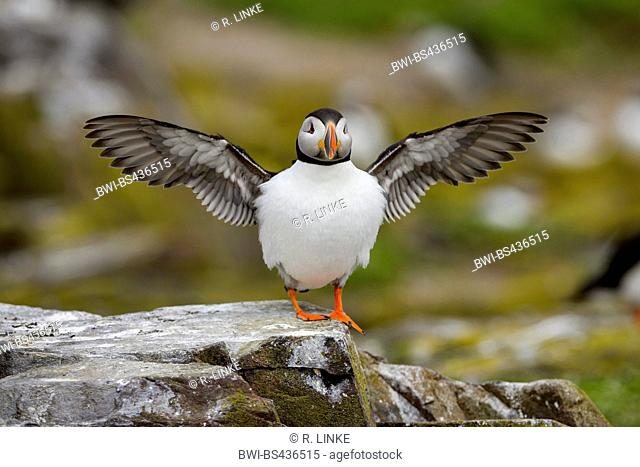 Atlantic puffin, Common puffin (Fratercula arctica), sitting on a rock, stretching wings, United Kingdom, England, Northumberland, Farne Islands