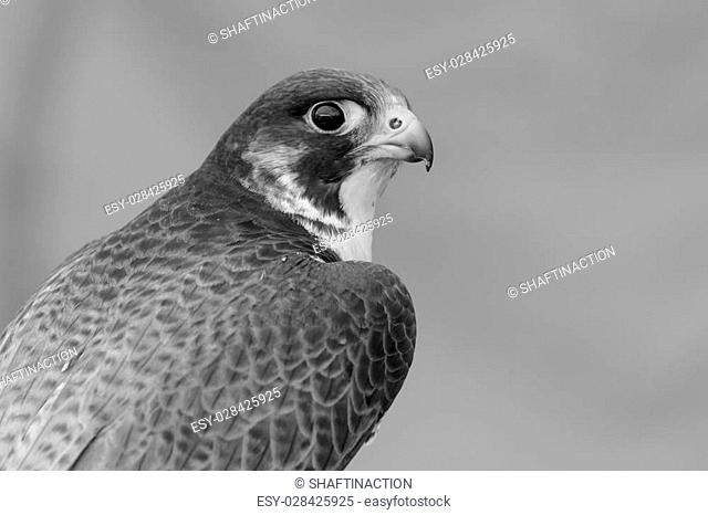 A portrait of a Peregrine Falcon in black and white