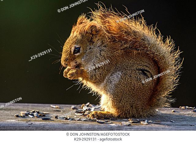 Red squirrel (Tamiasciurus hudsonicus) Eating sunflower seeds on backyard deck, Greater Sudbury, Ontario, Canada