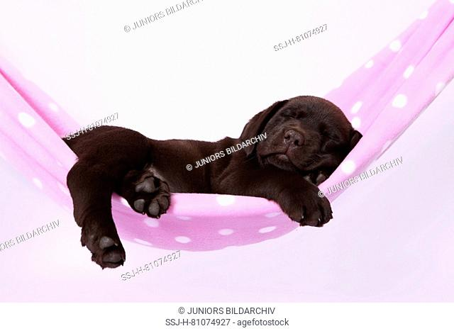 Labrador Retriever, Chocolate Labrador. Brown puppy (7 weeks old) sleeping, in a hammock. Studio picture against a white background. Germany