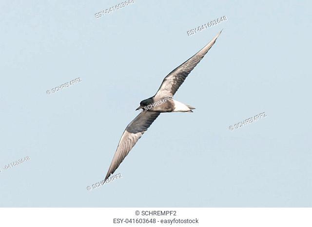 black tern Chlidonias niger Chlidonias nigra in poland