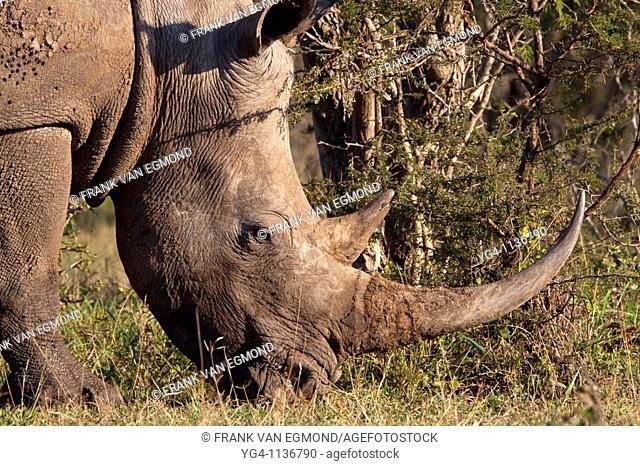 White Rhinoceros Ceratotherium Simum  Adult Rhino  Headshot, face detail, closeup  Winter, May 2009  Hluhluwe-Imfolozi Game Reserve, Kwazulu Natal, South Africa