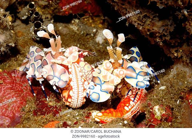Harlequin Shrimps, Hymenocera picta