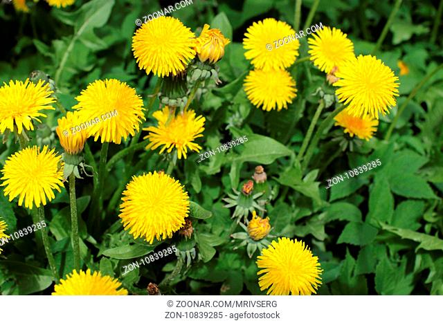 Lots of yellow flowers dandelion on green background