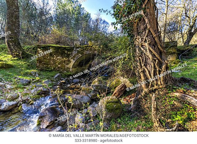 Roots and bridge at Solana Toro stream. Iruelas Valley. Avila. Spain. Europe