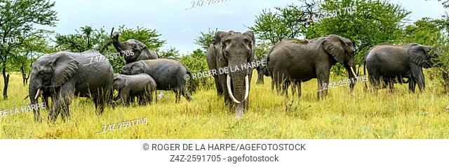 Wet African bush elephant (Loxodonta africana) herd in the rain. Serengeti National Park. Tanzania