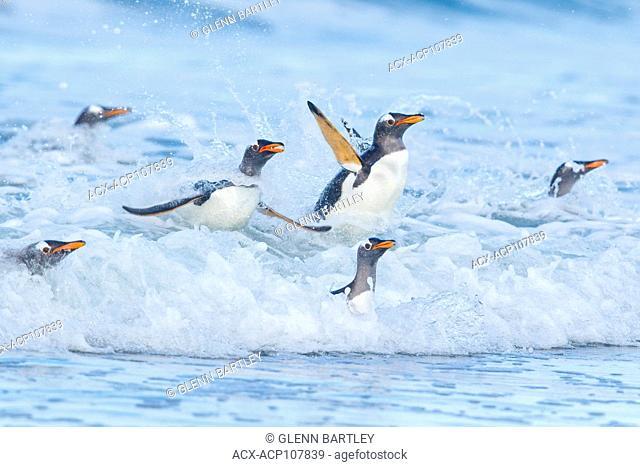 Gentoo Penguin (Pygoscelis papua) returning to land through the waves in the Falkland Islands