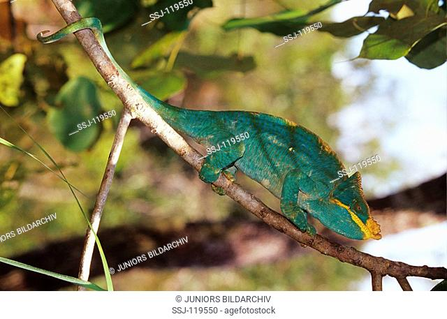 parsons chameleon - on branch / calumna parsonii