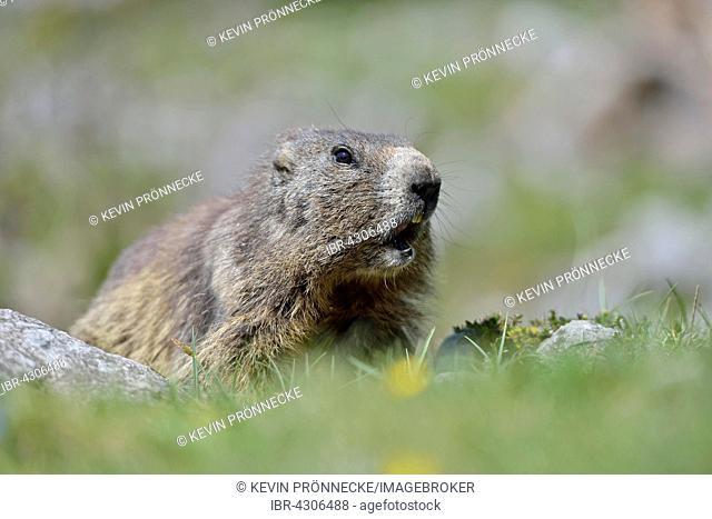 Alpine marmot (Marmota marmota) on alpine meadow, calling, Dachstein Salzkammergut, Austria
