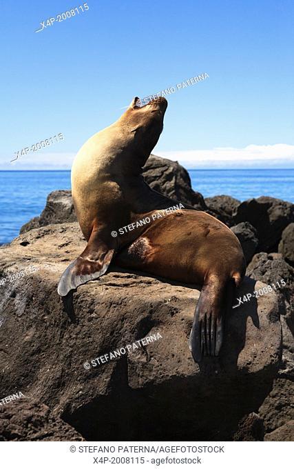 Galapagos sea lion, Zalophus wollebaeki, Floreana Island, Galapagos Islands, Ecuador