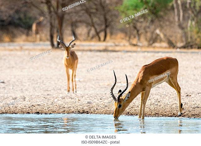 Impala (Aepyceros melampus), at waterhole, Kalahari, Botswana, Africa