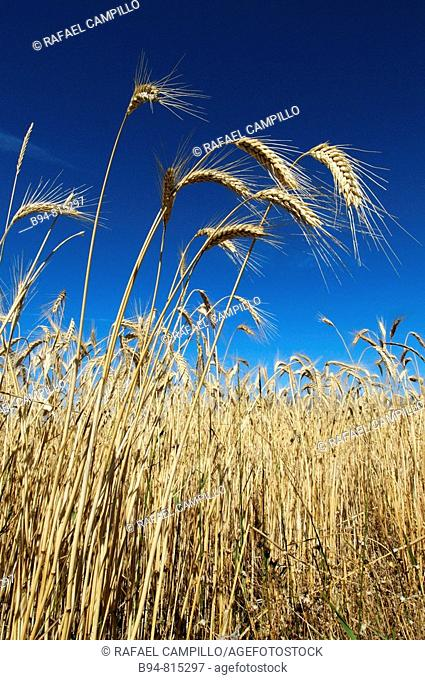 Wheat ears. Osseja, Languedoc-Roussillon, Pyrenees Orientales, France