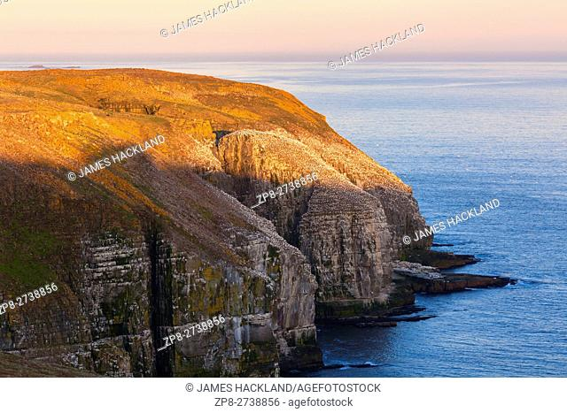 Cliffs rise above the Atlantic ocean with Northern Gannets (Morus bassanus) perched along the rocky edge at Cape St. Mary's Ecological Reserve, Newfoundland
