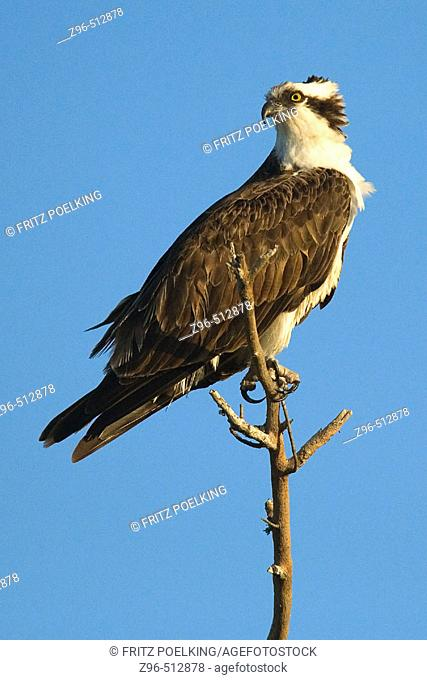 Osprey (Pandion haliaetus). Sanibel Island, Florida, USA